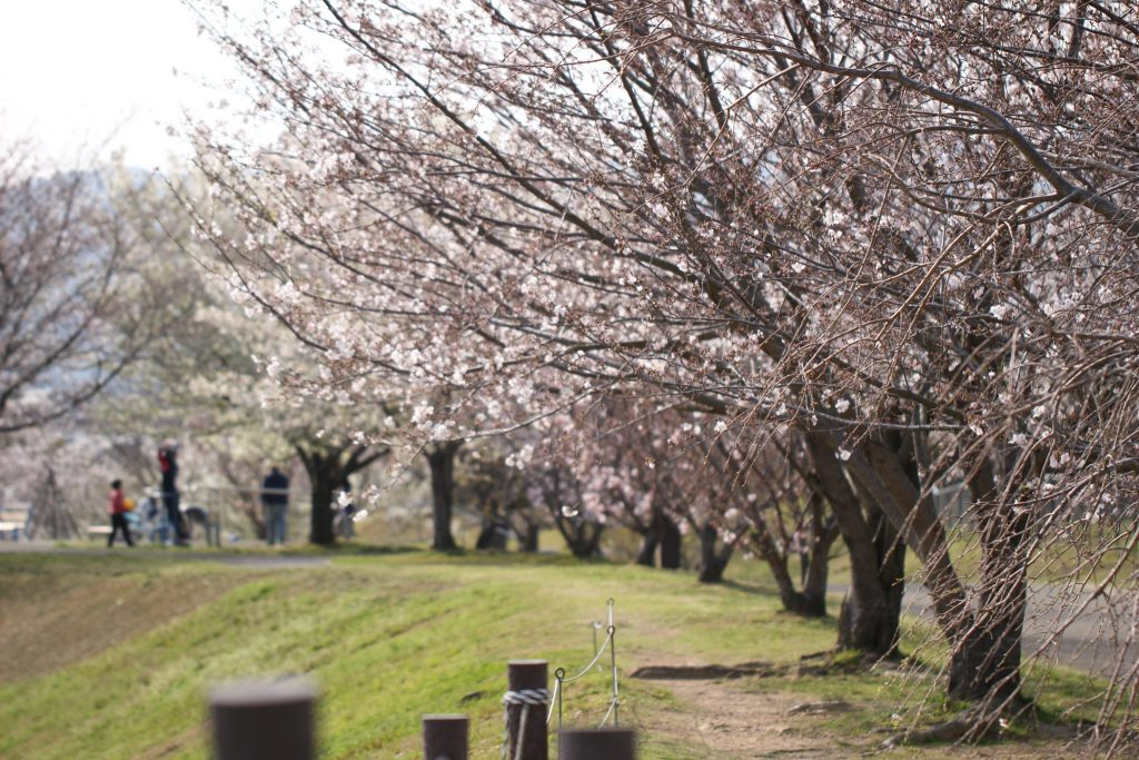 Cherry Blossoms yet to bloom