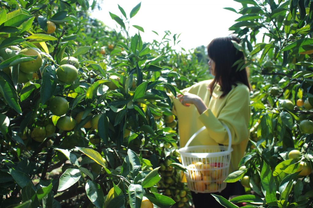 The highlight of our day trip to Oita is the fruit-picking where we harvested mikan. This is me picking the ripe ones.