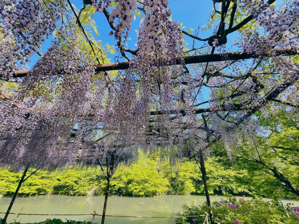 These are the hanging Wisteria flowers by the pond in Mifuneyama Rakuen.